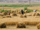 LAHORE: May 04 – Farmers busy in harvesting the wheat in their field during the hot day in Provincial Capital City. APP photo by Rana Imran